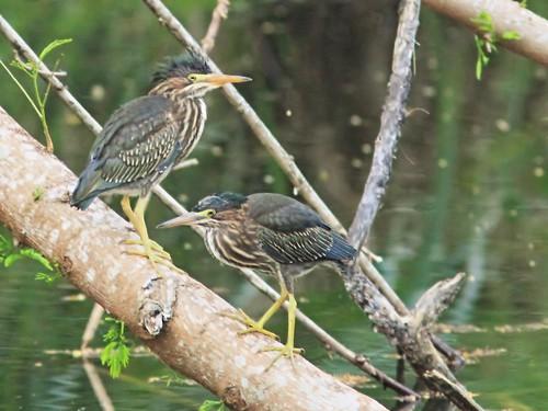 Green Heron juveniles interacting 2-20150601