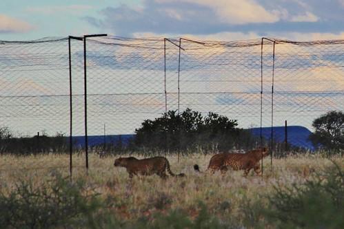 Caged Cheetahs
