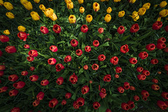Bolivian tulips