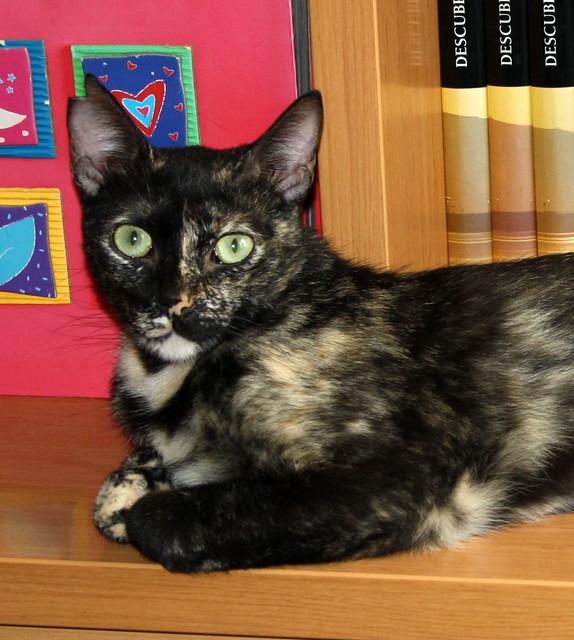 FALLECIDA- Mandala, preciosa gatita carey dulcísima de ojos verdes esterilizada, nacida en Julio´14, en adopción. Valencia. 19131281316_937ae09696_z
