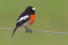 Scarlet Robin ( Male )