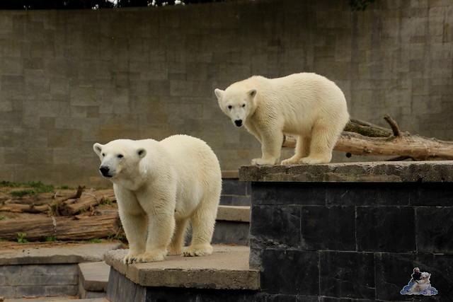 Eisbär Fiete im Zoo Rostock 11.07.2015  0121
