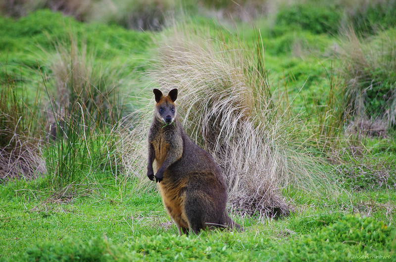 Wild Wallaby (In Explore July 25, 2015)