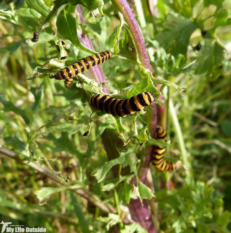 P1140891 - Cinnabar Moth Caterpillars