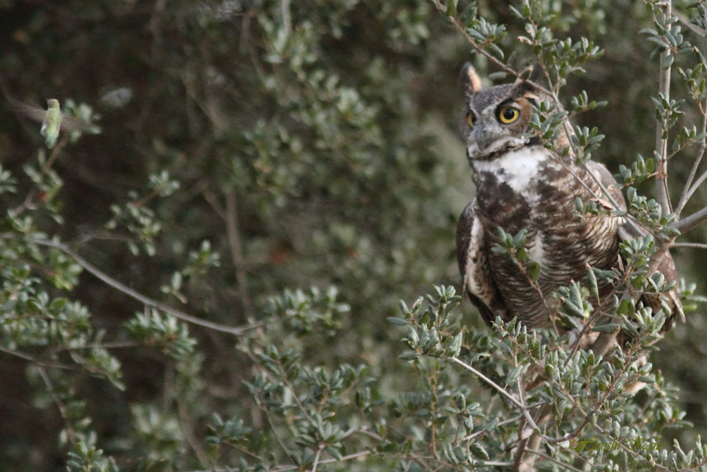 Great Horned Owl and Hummingbird 0409133