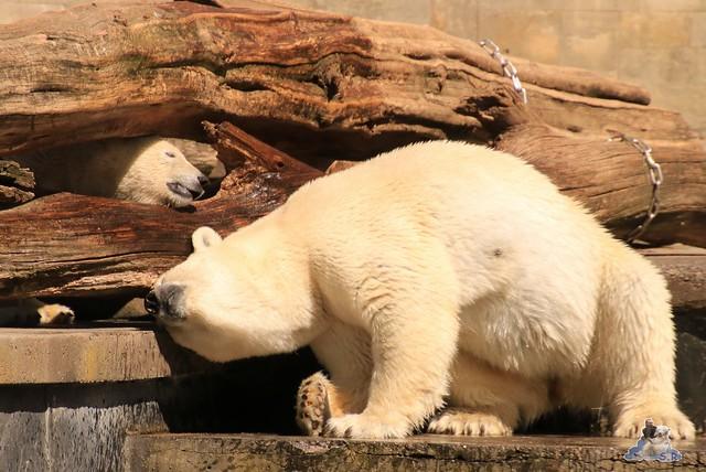 Eisbär Fiete im Zoo Rostock 0259