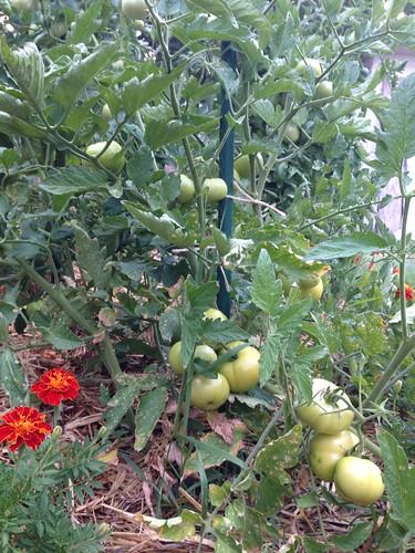 Oregon Spring tomatoes