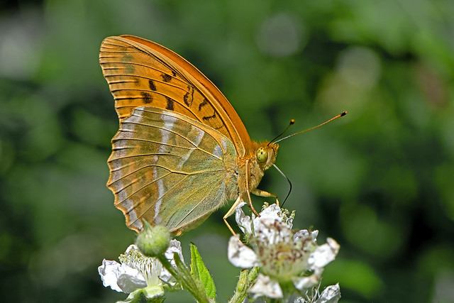 Argynnis paphia - the Silver-washed Fritillary
