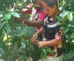 2016 Dona Luca and coffee trees