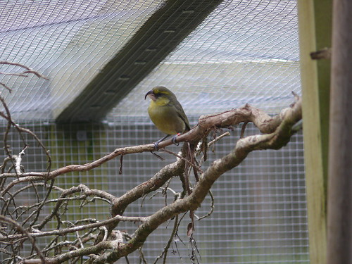 Kiwikiu in captivity at the Maui Bird Conservation Center.