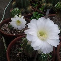 flower, moonlight cactus, flora, echinopsis pachanoi, caryophyllales,