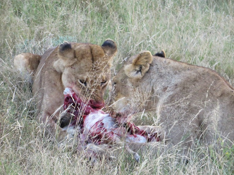 Two lions eat an impala, Malamala reserve
