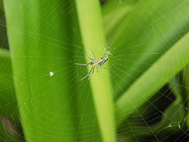 An Orb Weaver.  These spiders are fairly common in Costa Rica (Photo Credit: Eric Becker)