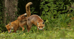 Foxes pushing each other into the air with their rear ends.