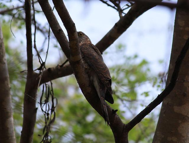 Common Hawk Cuckoo2