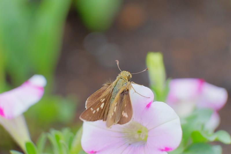 挵蝶(セセリチョウ) Hesperiidae