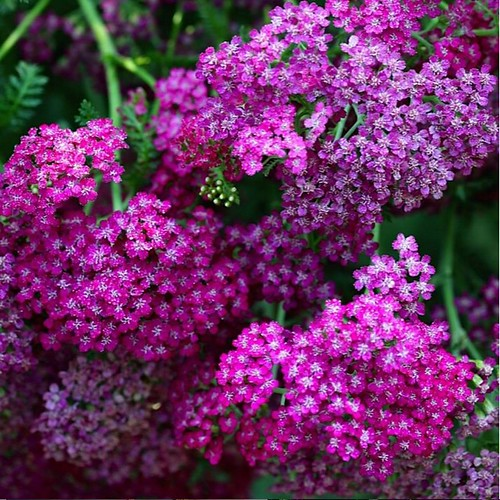 yarrow, cerise queen.  good for attracting beneficial insects, enriches the soil