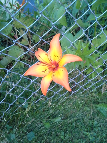 fenced lily