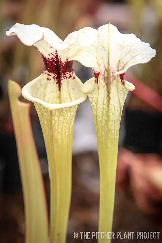 "Sarracenia oreophila ""veined"" x 'Adrian Slack'"