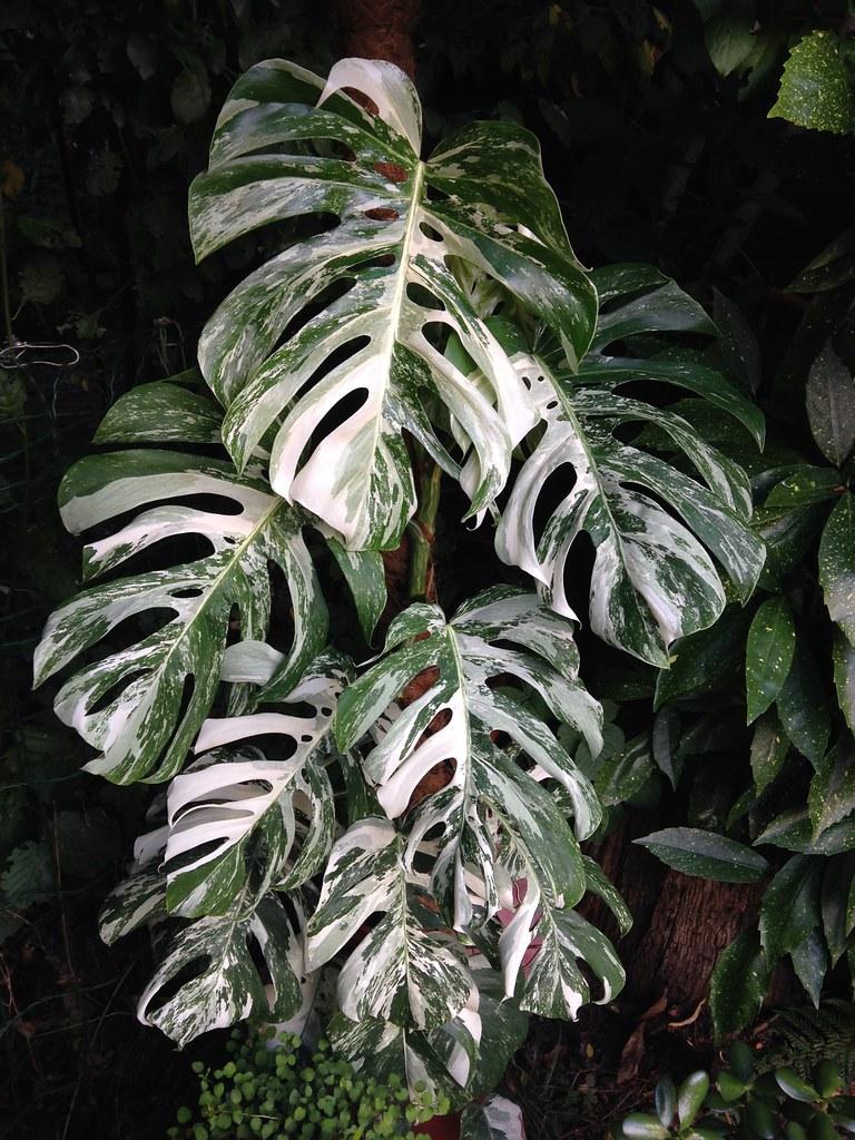 Monstera deliciosa variegata - Page 2 20032299620_0e03c0dcf8_b