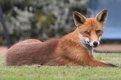 Fox being a fox