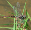 Two-striped forceptail (Aphylla williamsoni) by Vicki's Nature
