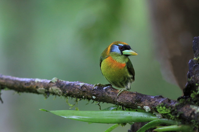 Red-headed barbet (female) / cabézon à tête rouge (femelle )