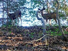 Mule deer, UC-Santa Cruz campus
