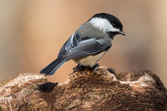 Black Capped chickadee-2068
