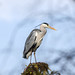 Heron by grahamnichols47