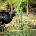 Moorhens - RSPB Fowlmere by Airwolfhound