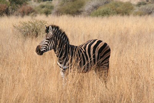 Handsome zebra