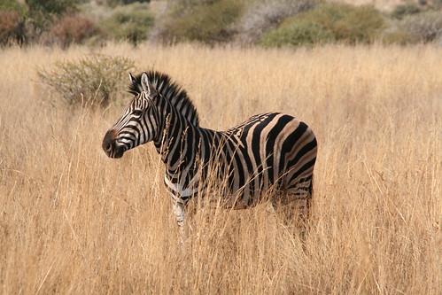 Handsome zebra