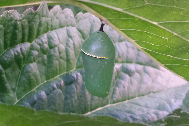 monarch chrysalis tucked between two black-eyed susan leaves