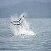 Humpback whale fluke in Kenai Fjords NP by alexander.howard11