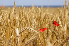 emmer, agriculture, triticale, einkorn wheat, rye, food grain, field, barley, wheat, plant, food, close-up, crop, cereal, plant stem,