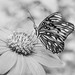 A Butterfly in Black and White. (Mariposa en B&N). by Photo by Sammy