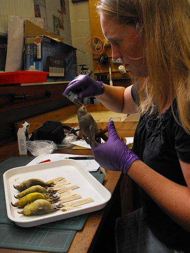 MFBRP's Hanna Mounce sampling Kiwikiu museum specimens for genetics research.