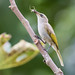 Brown Honeyeater by christinaportphotography