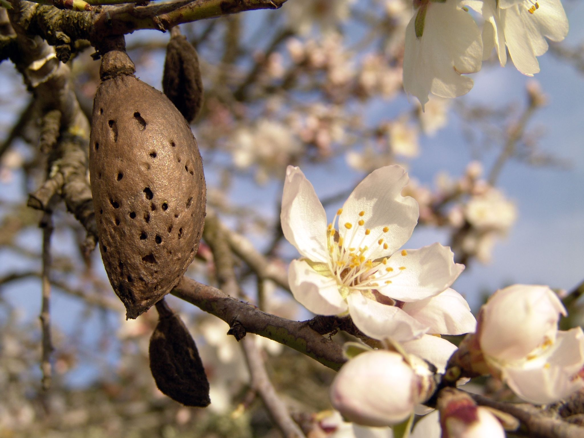 Ibiza: Almond trees in bloom