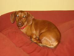 hound(0.0), dachshund(0.0), dog breed(1.0), animal(1.0), dog(1.0), redbone coonhound(1.0), pet(1.0), carnivoran(1.0), vizsla(1.0),