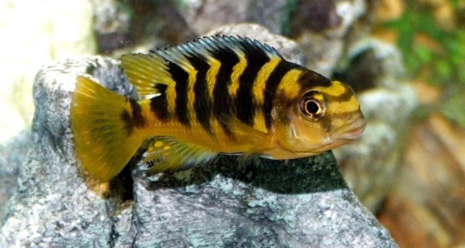 Female lake malawi cichlid a photo on flickriver for Lake malawi fish