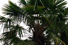 date palm(0.0), coconut(0.0), flower(0.0), branch(0.0), plant(0.0), produce(0.0), jungle(0.0), arecales(1.0), tropics(1.0), borassus flabellifer(1.0), leaf(1.0), tree(1.0), saw palmetto(1.0), elaeis(1.0),