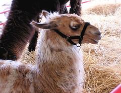 alpaca(0.0), arabian camel(0.0), animal(1.0), mane(1.0), llama(1.0), fauna(1.0), camel-like mammal(1.0),
