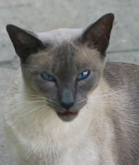 animal, siamese, peterbald, small to medium-sized cats, chausie, fauna, javanese, thai, tonkinese, cat, carnivoran, whiskers, balinese, russian blue,