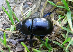 japanese rhinoceros beetle(0.0), arthropod(1.0), scarabs(1.0), animal(1.0), invertebrate(1.0), insect(1.0), macro photography(1.0), fauna(1.0), dung beetle(1.0), leaf beetle(1.0), ground beetle(1.0),