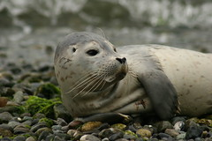 Baby Harbor Seal on South Whidbey Island