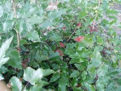 Apfel-Mahonie-sm1