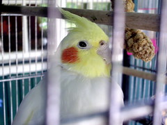 cockatoo, animal, lovebird, parrot, yellow, pet, fauna, cockatiel, beak, bird,