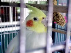 parakeet(0.0), cockatoo(1.0), animal(1.0), lovebird(1.0), parrot(1.0), yellow(1.0), pet(1.0), fauna(1.0), cockatiel(1.0), beak(1.0), bird(1.0),